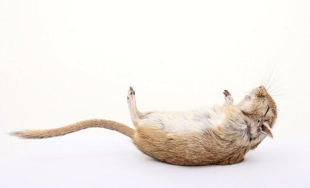 mrtvá myš