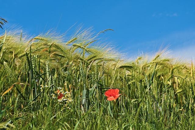 Pšenice určená pro sklizeň
